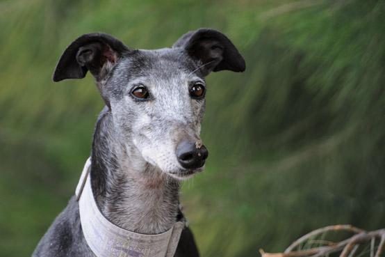 Galgos Windhunde Galgo Hilfe E V